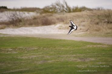 Strandskata och vigg på dagens snabba, kalla runda.