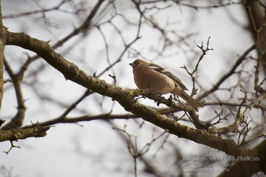fototriss-faglar-bofink