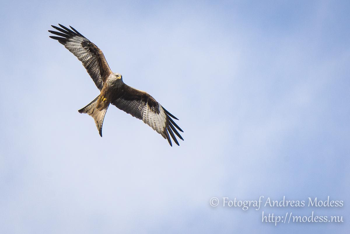 På span efter rovfågel